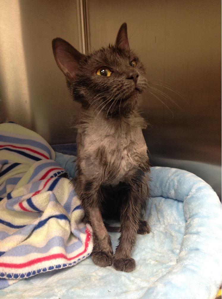 El gato será sometido a un tratamiento de socialización antes de estar disponible para adopción. (Foto Prensa Libre: Humane Pennsylvania)