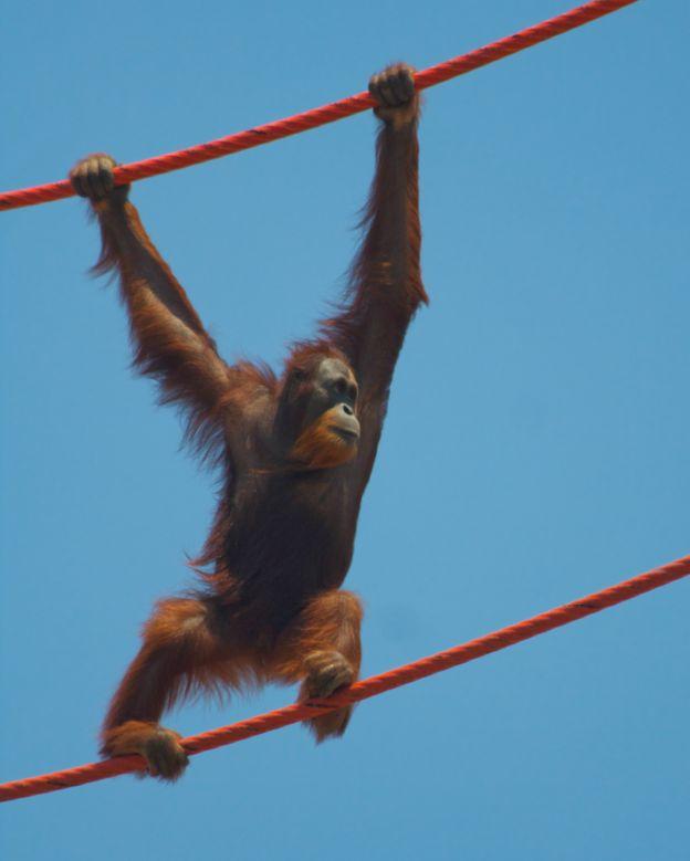 Rocky fue estrella de televisión y cine antes de retirarse al zoológico de Indianápolis. SHANON GHAUGAN-KELLY/ZOOLÓGICO DE INDIANÁPOLIS