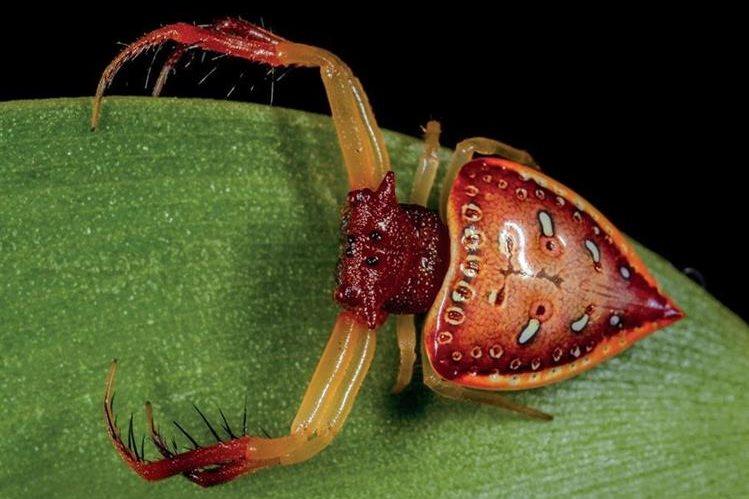 Esta especie del género Arkys fue hallada en Queensland. GREG ANDERSON