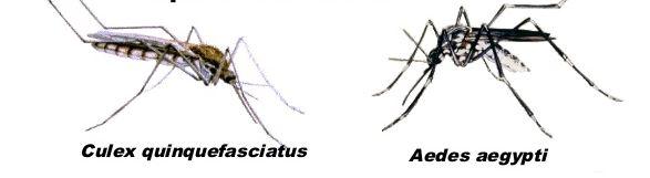 Ficha de las diferencias entre el zancudo común y el <em>Aedes aegypti.</em>
