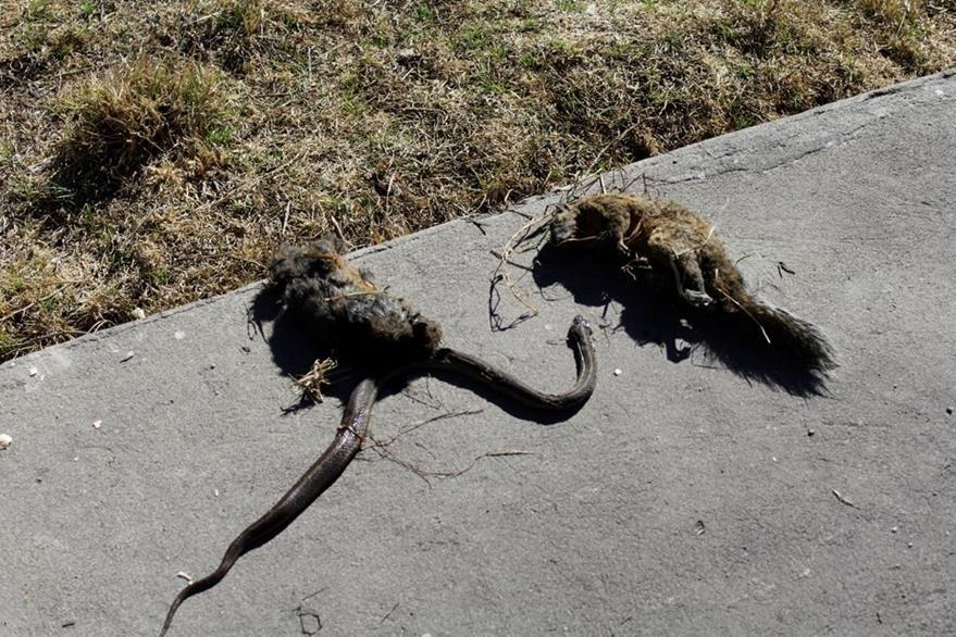 Las dos ardillas y la serpiente que murieron en el incendio provocado por un cortocircuito en la subestación eléctrica. (Foto Prensa Libre: María José Longo)