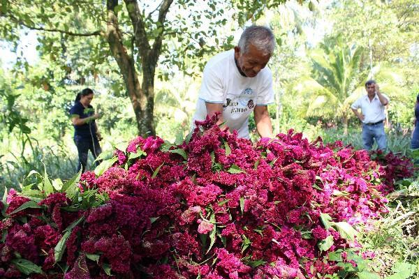 Un   campesino   del cantón  Ocosito, San  Sebastián, Retalhuleu, corta  la flores  de Campeche.