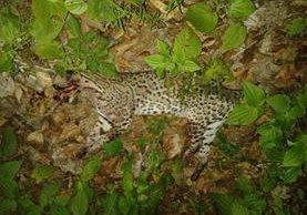 Un tigrillo fue atropellado recientemente en la ruta que conduce a Tikal. (Foto Prensa Libre: Rigoberto Escobar)