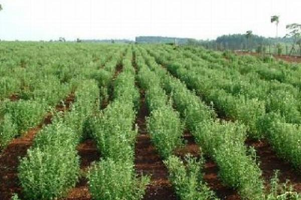"<p>Paraguay declaró de interés nacional el cultivo de la stevia. (Foto: tomada de Cienciacosmica.net)<br _mce_bogus=""1""></p>"