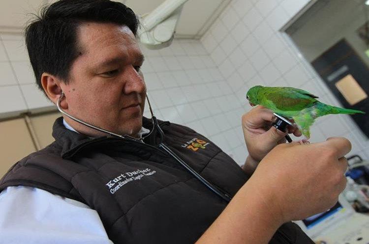 Con delicadeza los veterinarios oscultan a las aves