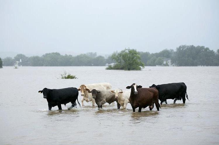 El ganado está varado en una carretera inundada en La Grange, Texas.