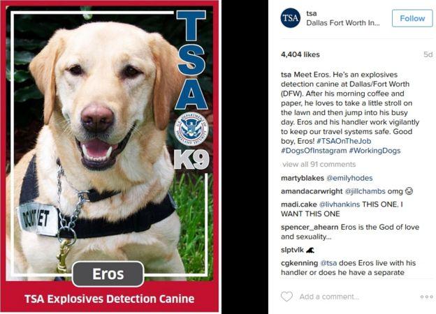 Eros es uno de los perros detectores de explosivos de la TSA que fascinan a sus seguidores de Instagram. (INSTAGRAM/TSA)