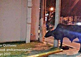 Una de las reses que escapó de un camión en la ruta al Atlántico y complica el tránsito. (Foto Prensa Libre: Facebook Amílcar Montejo)
