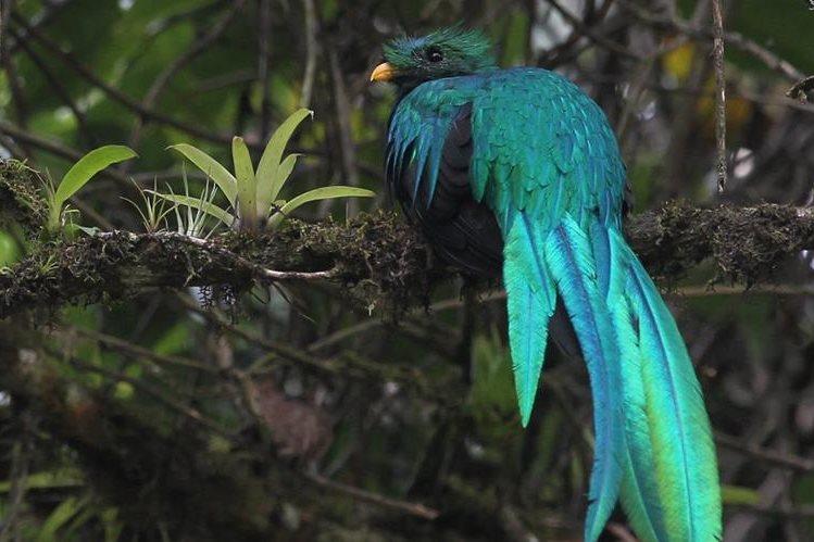La estrategia busca reproducir el Quetzal en cautiverio. (Foto Prensa Libre: Hemeroteca PL)