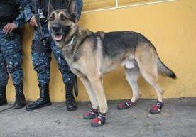 Agentes K9 deben usar zapatos por protocolo y protección