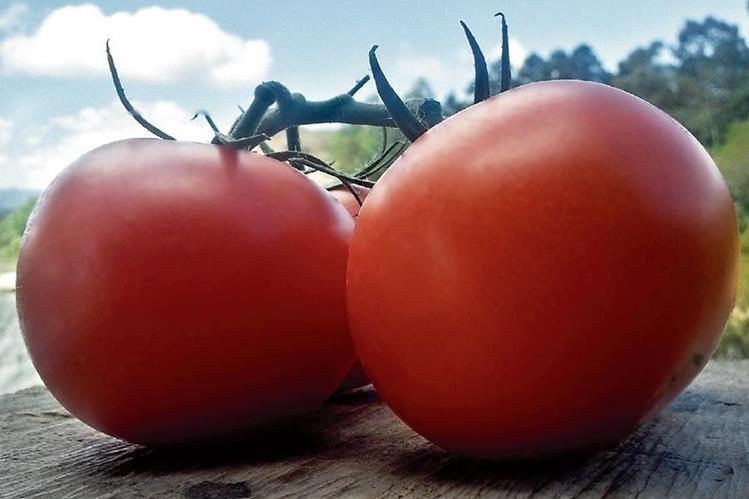 Los tomates y las lechugas son las legumbres que más se cultivan en Guatemala con el sistema de hidroponía. (Foto Prensa Libre: Cortesía)