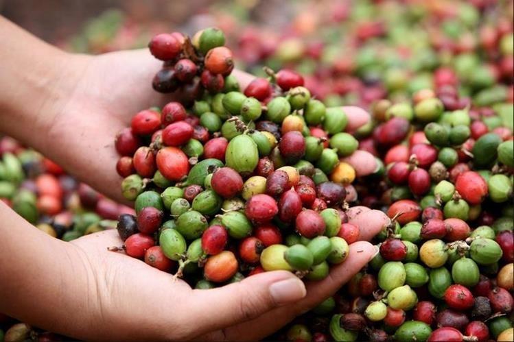 Anacafé refiere que el esfuerzo de los productores es el resultado de haber mejorado la producción para el cierre de la cosecha. (Foto Prensa Libre: Hemeroteca)