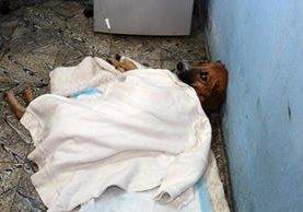 El perro Gordito se recupera luego de haber sido atacado a balazos en La Tinta, Alta Verapaz. (Foto Prensa Libre: Eduardo Sam Chun)