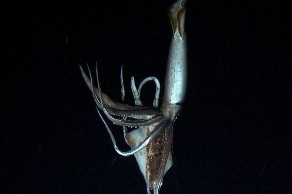 <p>El animal fue seguido hasta 900 metros de profundidad, antes de verlo desaparecer en las profundidades abismales. (INTERNET).</p>