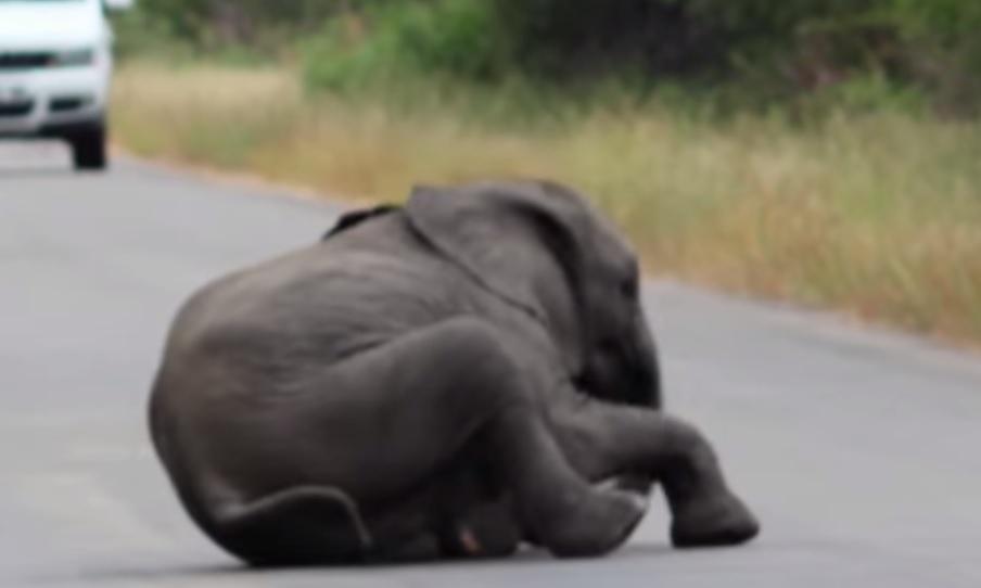Un cachorro de elefante de debilita en un parque de Sudáfrica. (Foto Prensa Libre: YouTube)