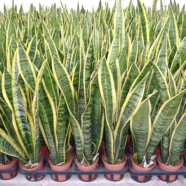 Cinco plantas que no deben faltar en el hogar para for Plantas en el hogar
