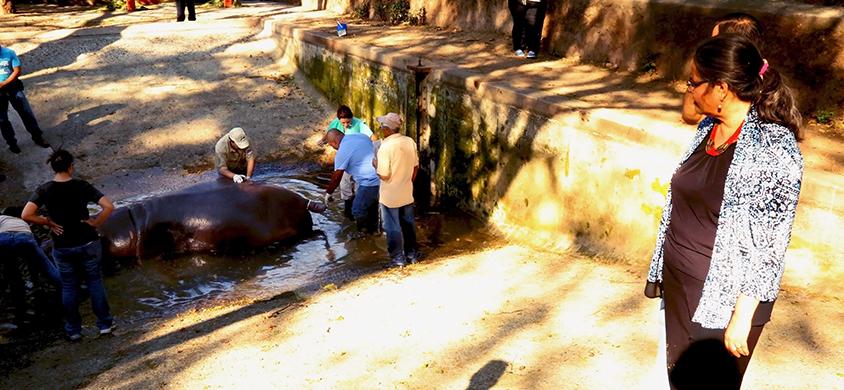 """""""Gustavito"""" es rescatado por autoridades del Parque Zoológico de El Salvador. (Foto: cultura.gob.sv)."""