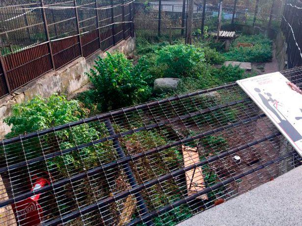 Un tigre siberiano ataca a su cuidadora en un zoo de Rusia