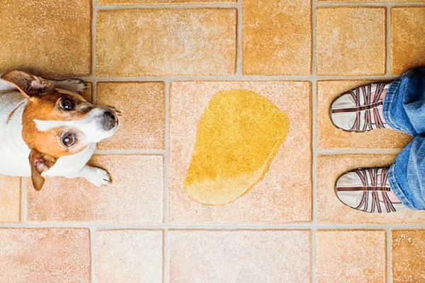 Con un poco de paciencia y al establecer horarios y un lugar fijo y adecuado para ese fin, el perro aprenderá a hacer sus necesidades de manera apropiada. (Foto Prensa Libre, tomada de cohersam.com)