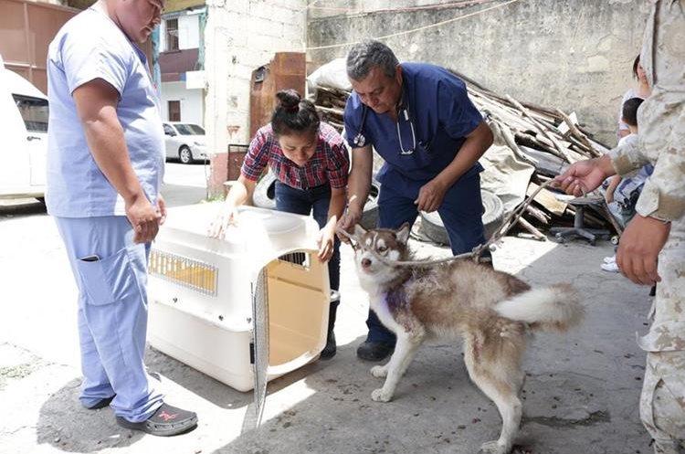 Locky previo a ser trasladado al hospital para su atención. (Foto Prensa Libre: Unidad de Bienestar Animal del Maga).