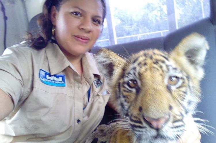 Personal del Conap traslada tigre siberiano rescatado en Suchitepéquez. (Foto Prensa Libre: Cortesía)