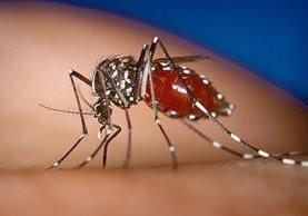 El zancudo que transmite el virus de Chikungunya ha tenido un repunte en 2015. (Foto Prensa Libre: Hemeroteca PL)
