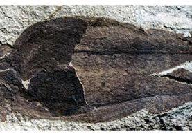 Esta es la baya que se ha convertido en carbón. PETER WILF, PENN STATE