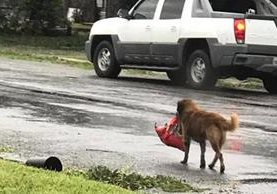Debido a las inundaciones causadas por el huracán Harvey, en Houston, Texas, un perro escapó de su casa llevando una bolsa de alimentos. (Foto Prensa Libre: Facebook)