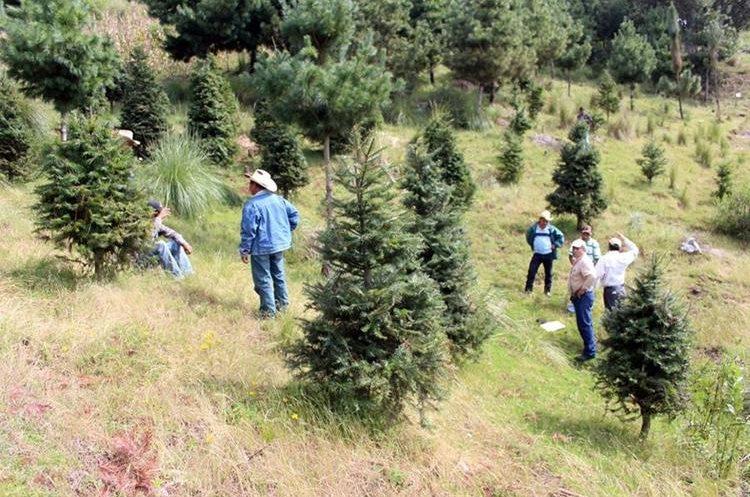 Los árboles son llevados a distintos mercados durante esta temporada. (Foto Prensa Libre: Mike Castillo)