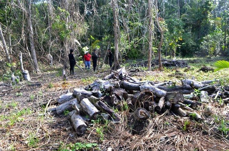 Trozos de árboles fueron localizados en Punta de Manabique, Izabal. (Foto Prensa Libre: Dony Stewart)