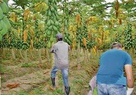 Trabajadores en un cultivo de papaya en el departamento de Zacapa..