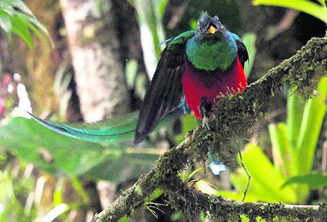 El quetzal pudo observarse en una reciente visita al biotopo. (Foto Prensa Libre: Esbin García