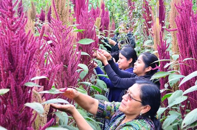 Mujeres de la asociación Oxlajuj E, de El Tablón, Sololá, recogen semillas de amaranto, con la que manufacturan productos alimenticios. (Foto Prensa Libre: Ángel Julajuj)