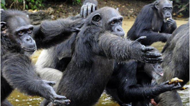 Los chimpancés fueron dejados con pocas posibilidades de alimentarse por sí solos. GETTY IMAGES