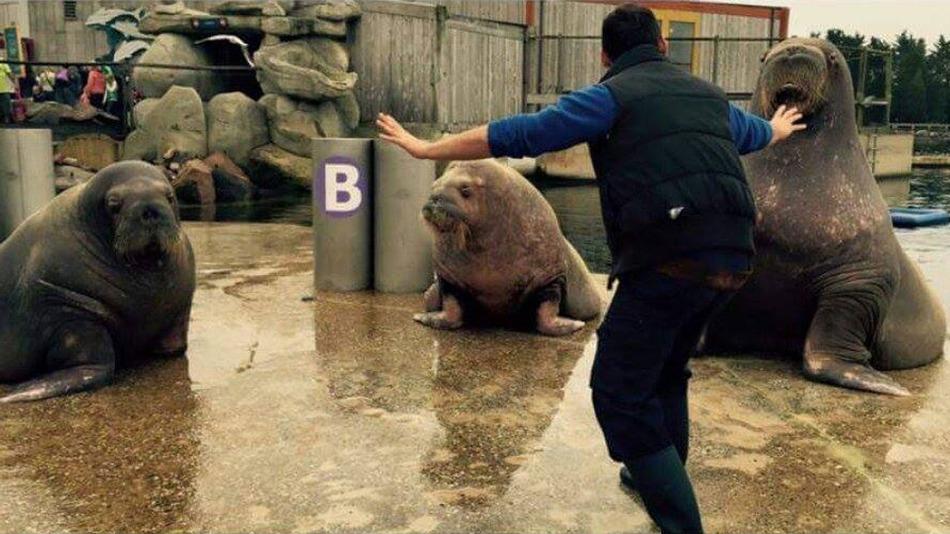 Un cuidador de morsas recrea la escena de Owen. (Foto Prensa Libre: Tumblr)