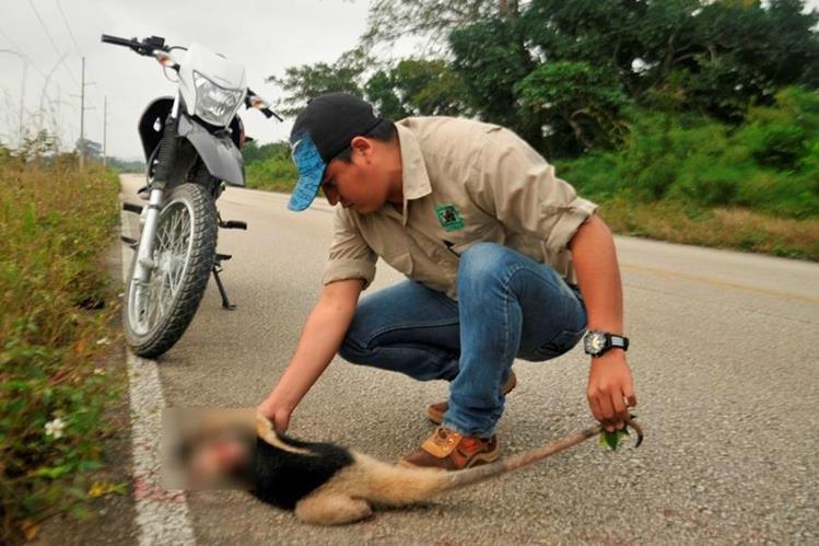Cadáver de oso hormiguero es examinado por personal del Conap, en Sayaxché, Petén. (Foto Prensa Libre: Rigoberto Escobar)