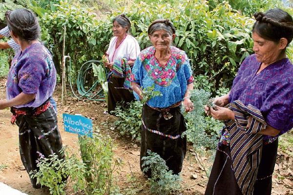 Comadronas cortan plantas medicinales, en el huerto del Puesto de Salud del caserío Patzité.