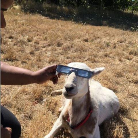 La periodista de la BBC Shefali Kulkarni le presta sus lentes a una oveja en Oregon. TWITTER / @SHEFALIKULKARNI