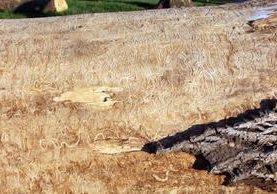 El resto de un árbol muerto se observa en Chicago. (Foto Prensa Libre: AFP).