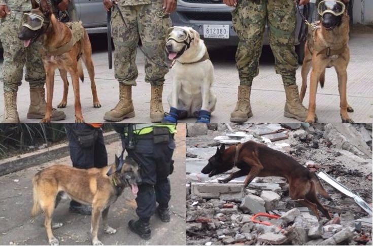 Más de 300 perros rescatistas se unen a las labores de los brigadistas para localizar a sobrevivientes de los sismos en México. (Foto Prensas Libre: Hemeroteca PL)
