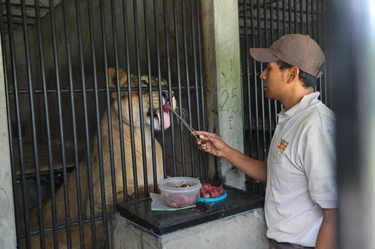 Marvin Boche suministra medicamento a los leones.