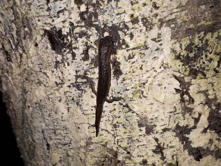 Salamandra Bolitoglossa kaqchiquelorum, vista en bosques de la Cordillera Alux. (Foto Prensa Libre: cortesía Carlos Vásquez)
