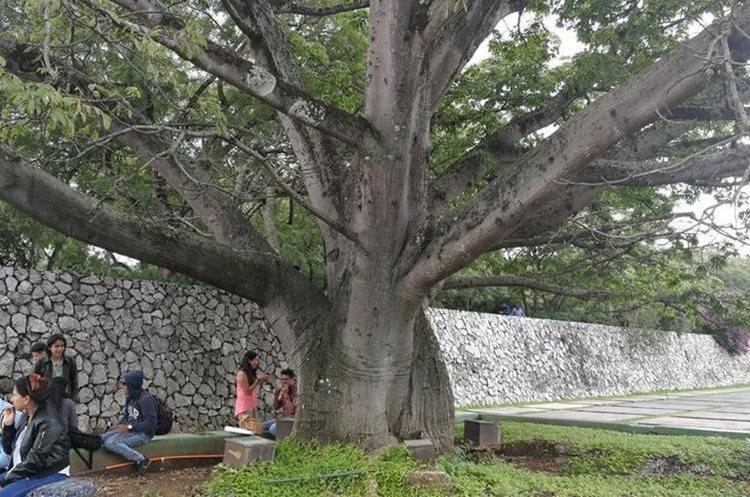Ceiba en la Plaza de los Mártires, en el campus central de la USAC. (Foto Prensa Libre: Oscar Felipe Q.)
