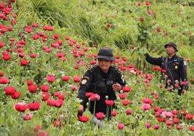 Agentes de la PNC eliminan cultivos ilícitos en Ixchiguán y Tajumulco, en San Marcos. (Foto Prensa Libre: PNC)