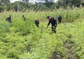 Una de las plantaciones destruidas en Petén. (Foto Prensa Libre: Rigoberto Escobar).