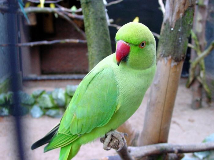 <em>Loro es una mascota muy apreciada en India.</em>