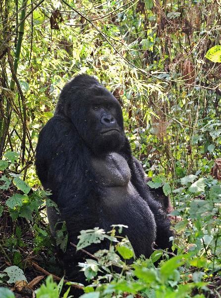 Un gorila de montaña en la selva de Bukima en la República Democrática del Congo. (AFP)