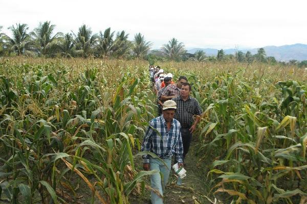 Se espera que en dos meses ya esté a la venta la semilla de maíz para los campesinos.