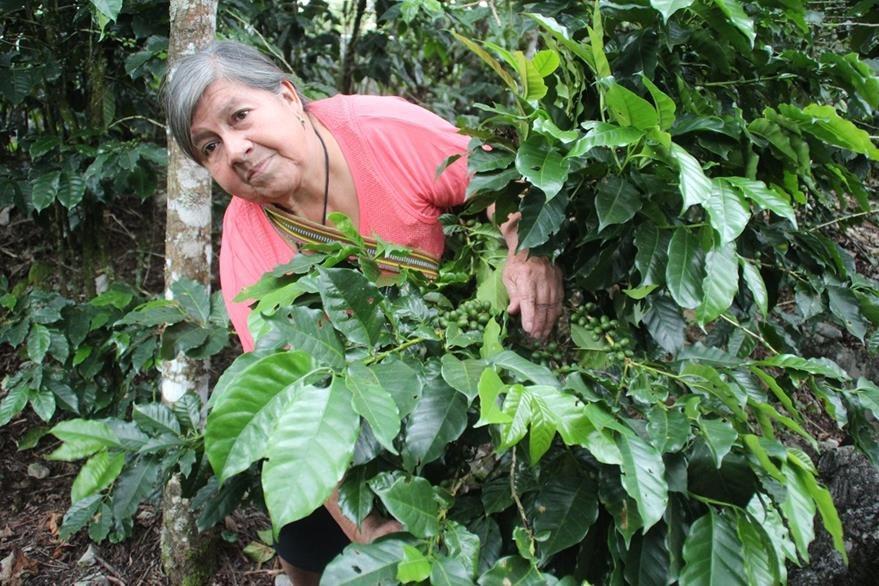 Ramona Quiñónez revisa un cafetal después que fue rociado con pesticida. (Foto Prensa Libre: Mike Castillo)