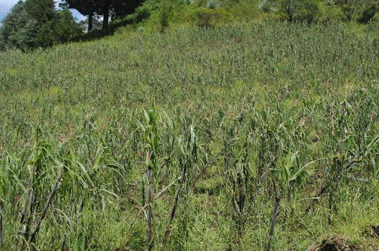 Grandes extensiones de cultivo de maíz son afectadas por la caída de granizo en Quetzaltenango. (Foto Prensa Libre: María José Longo)